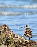 Whimbrel (Numenius phaeopus) foraging along Copper River Delta in Southcentral Alaska. Spring. Morning.