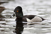 A Ring-necked Duck drake (Aythya collaris)