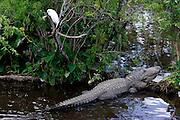 US-ORLANDO- Crocodiles and alligators at Gatorland. PHOTO: GERRIT DE HEUS.VS - ORLANDO - Alligators en krokodillen in Gatorland PHOTO  GERRIT DE HEUS