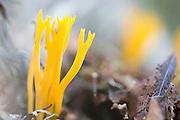 Gullgaffel, Calocera viscosa. Almindelig guldgaffel, autumn, barskog, boreal, Calocera viscosa, Dacrymycetaceae, yellow stagshorn.
