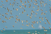 Photographic images of shorebirds, wading birds and diurnal raptors for sale as fine art prints, canvas gallery wraps and availabel for licensed use