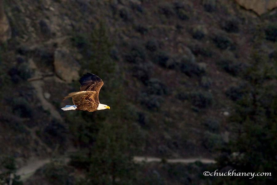 Mature bald eagle flies at Smith Rock State Park near Terrebonne, Oregon, USA