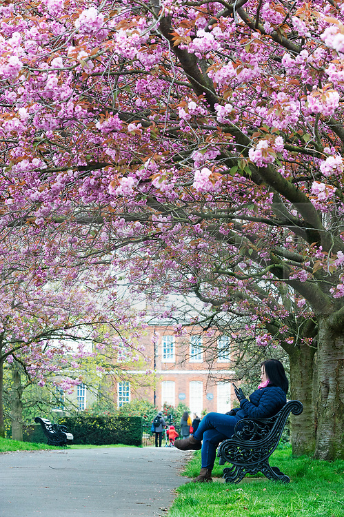 © Licensed to London News Pictures. 12/04/2019.<br /> Greenwich, UK. A lady sitting under the blossom on a bench. A cloudy day has been brightened up by the pink cherry blossom at Greenwich Park, London. Photo credit: Grant Falvey/LNP