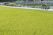 Rice Paddy, South Korea