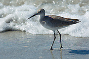 Willet, Tringa semipalmata, one of the shorebirds, wading on the beach shoreline at Captiva Island, Florida USA