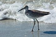 Willet, Tringa semipalmata, one of the shorebirds, wading on the beach shoreline at Captiva Island, Florida USA