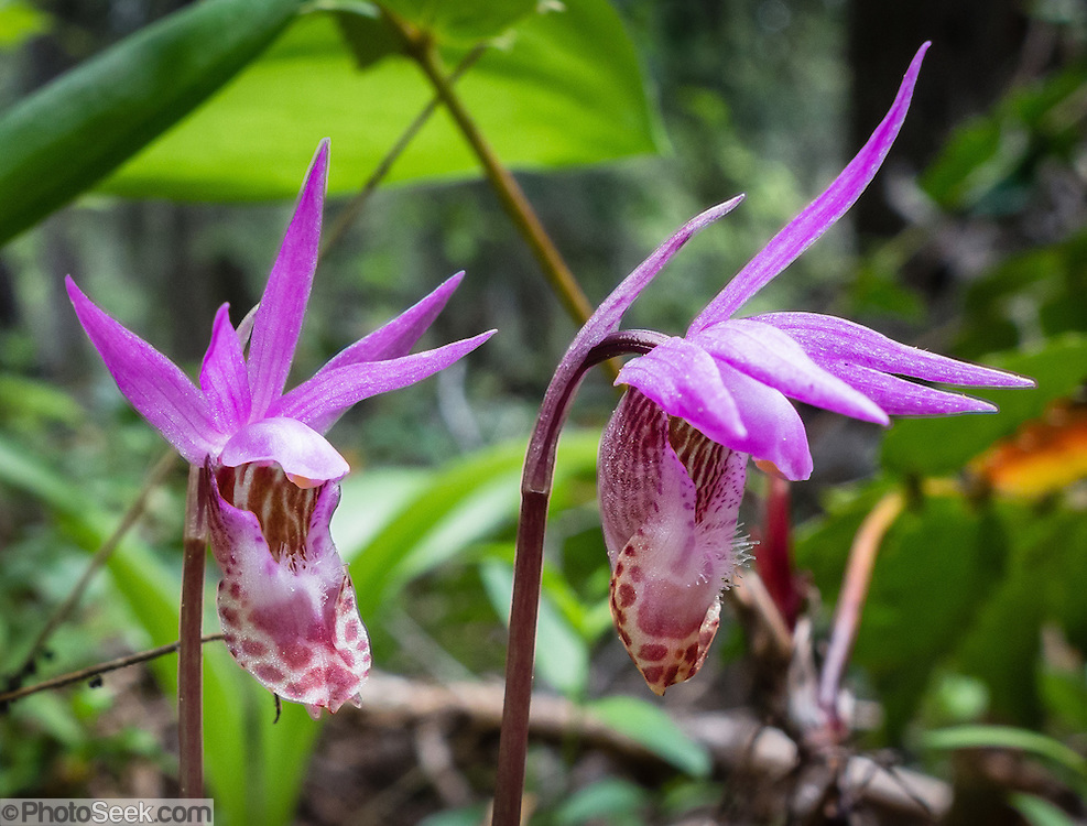The Calypso orchid (Calypso bulbosa, also known as fairy slipper or Venus's slipper) has a small pink, purple, or red flower accented with a white lip and darker purple spottings. It is the only species currently classified in the genus Calypso, a Greek word for concealment, as they tend to favor sheltered areas on conifer forest floors; bulbosa refers to the bulb-like corms. Photographed along the Ingalls Creek Trail, in Wenatchee National Forest, between Leavenworth and Blewett Pass, in Washington, USA.