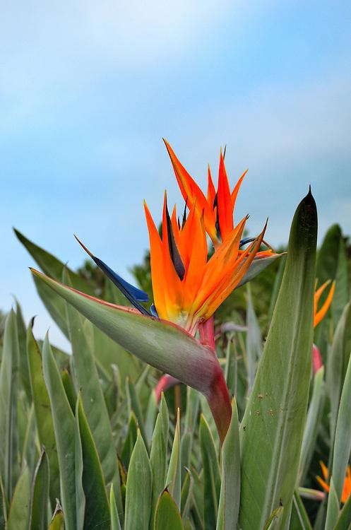 Beautiful orange bird of paradise flower (Latin name:  Strelitzia reginae aka Strelitzia parvifolia) outdoors in  San Diego, California, USA. Common names also include crane flower and crane lily.