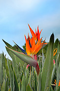 Beautiful orange bird of paradise flower (Latin name:  Strelitzia reginae aka Strelitzia parvifolia) outdoors in  San Diego, California, USA. Common names also include crane flower and crane lily.