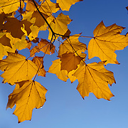 Looking up through Maple leaves to blue sky