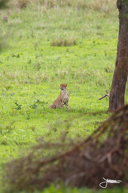 Cheetah (Gepard), watching for prey in Tarangire