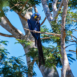 """""""Arara-azul-grande (Anodorhynchus hyacinthinus) fotografado em Corumbá, Mato Grosso do Sul. Bioma Pantanal. Registro feito em 2017.<br /> <br /> <br /> <br /> ENGLISH: Hyacinth Macaw photographed in Corumbá, Mato Grosso do Sul. Pantanal Biome. Picture made in 2017."""""""