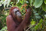Bornean Orangutan <br /> Pongo pygmaeus<br /> Adult female eating wild fruit<br /> Tanjung Puting National Park, Indonesia
