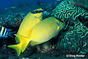 masked rabbitfish or maiden spinefoot, mated pair, Siganus puellus, Tulamben Bay, Bali, Indonesia