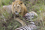 Lion<br /> Panthera leo<br /> Large male with zebra kill<br /> Masai Mara Reserve, Kenya