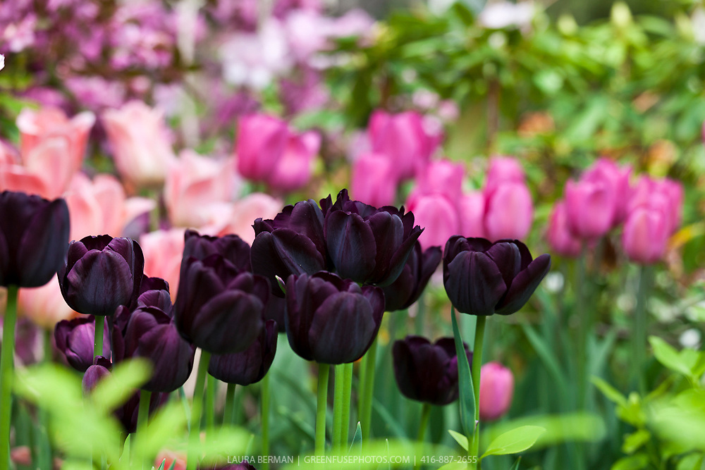 Dark purple-black 'Queen of the Night'  tulips. tulips.