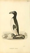 Great Auk (Pinguinus impennis) from the 1825 volume (Aves) of 'General Zoology or Systematic Natural History' by British naturalist George Shaw (1751-1813). Shaw wrote the text (in English and Latin). He was a medical doctor, a Fellow of the Royal Society, co-founder of the Linnean Society and a zoologist at the British Museum. Engraved by Mrs. Griffith