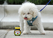 """© under license to London News Pictures. LONDON, UK  06/05/2011. Bichon Frise, Mario licks his lips whilst looking at a pot of Marmite. Dogs Enjoying Marmite at Battersea Dogs and Cats Home today (06 May 2011). 100 Jars were delivered to the home as part of a prize. You either love it or hate it, but at Battersea, marmite is causing quite a stir amongst the dogs. Jars of the yeast extract, which has polarised the nation into lovers and haters, are polished off in no time by Battersea's canine residents who have developed quite a taste for the spread. Today 100 of the famous yellow topped glass jars will cause tails to wag in the kennels when they are delivered to the Home. The year's supply of Marmite is a rather unusual, but very welcome prize to Battersea Chief Executive Claire Horton who will be presented with one of the first ever Dogs Today Endal Awards for Services to Animals. Claire Horton who requested the prize for the dogs, in favour of the usual dog food awarded,  commented: """"Battersea dogs definitely 'love it' when it comes to Marmite. We like to provide our dogs with lots of different activities throughout the week to try and help them cope better in a kennel environment. One of the dogs' favourites is licking Marmite from chew toys - it keeps them entertained for hours."""" Claire will be presented with her Endal Award by Marmite Brand Manager David Titman at the 2011 London Pet Show, taking place at Kensington Olympia, tomorrow, Saturday 7th May.Photo credit should read Stephen Simpson/LNP."""