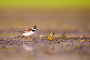 Ringed plover also Common ringed plover (Charadrius hiaticula) are migratory and winter in coastal areas south to Africa. Photographed at Ein Afek Nature reserve, Israel in August