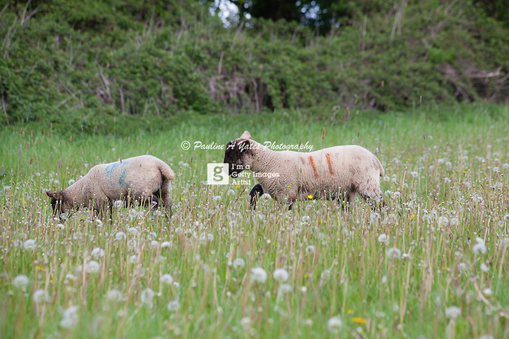 Two lambs play in a meadow in Oxfordshire, in the early summer sun.