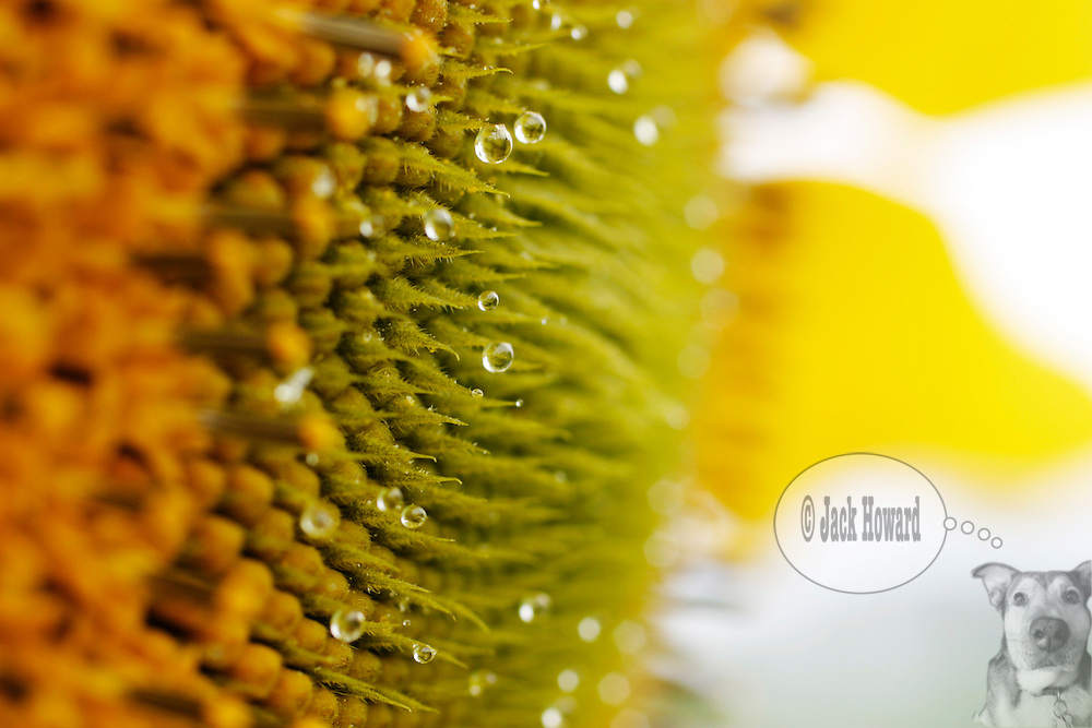 08/2004 - Marlboro NJ - Dew Droplets on a very mature sunflower...JACK HOWARD PHOTOGRAPH