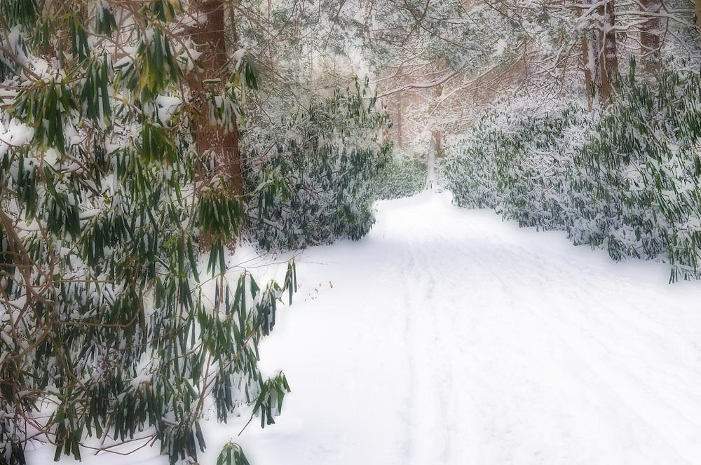 Ski trail through a rhododendron grove.