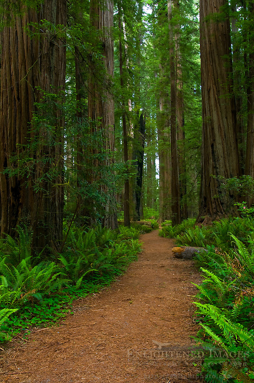 Trail through forest at Stout Grove, Jedediah Smith Redwoods State Park, California