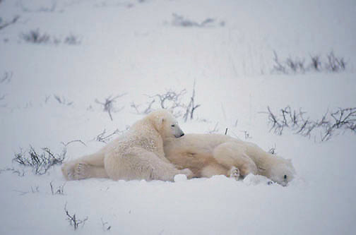 Polar Bear (Ursus maritimus) Mother and cub lying near dead cub in snow. Cape Churchill. Manitoba. Canada. Winter.