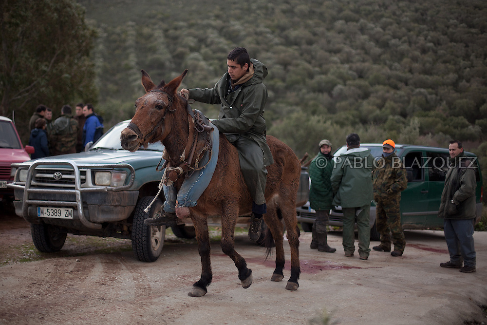 A man rides a mule he used pull dead animals after a hunting session near Carbajo on January 19 2013, in Caceres Province, Extremadura, Spain. .Caceres has a well preserved natural environment. Plenty of its surface is dedicated to deers and wild boars hunting, making this, an important part of its economy. But most of the land belongs to large landowners. .In Carbajo, people gather three times a year to hunt deers and wild boars. In the past, they used to hunt for eating, but now days, they practice it as an sport and a social event. Then, they sell what the catch as wild game meat.