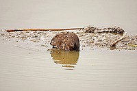A Muskrat in a local marsh 2016 in northern Utah looks like its time for lunch!