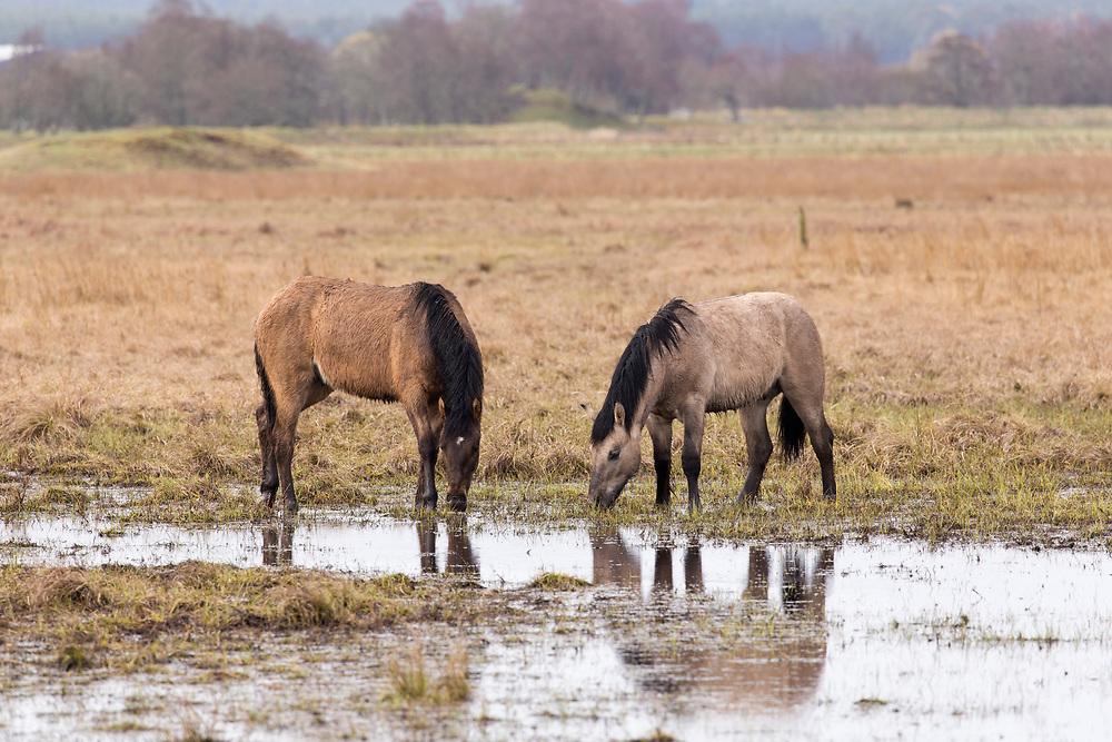 Highland ponies used to graze wetland habitat as part of management plan, Strathspey, Scotland