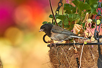 Adult Dark-eyed Junco (Junco hyemalis) by nest in a hanging flower basket, Gabriola Island , British Columbia, Canada