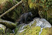 A large adult American black bear walks along a rock outcropping at Anan Creek in the Tongass National Forest, Alaska. Anan Creek is one of the most prolific salmon runs in Alaska and dozens of black and brown bears gather yearly to feast on the spawning salmon.