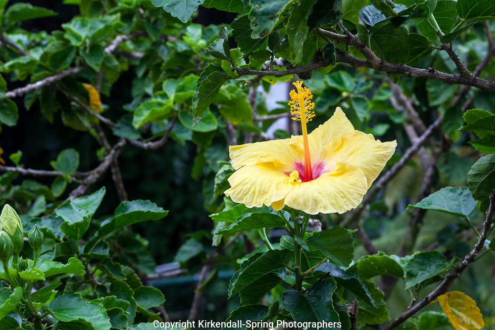 HI00323-00...HAWAI'I - State flower of Hawai'i the Hawaiian hibiscus also known as pua aloalo or ma'o hau hele in the Hawaiian language