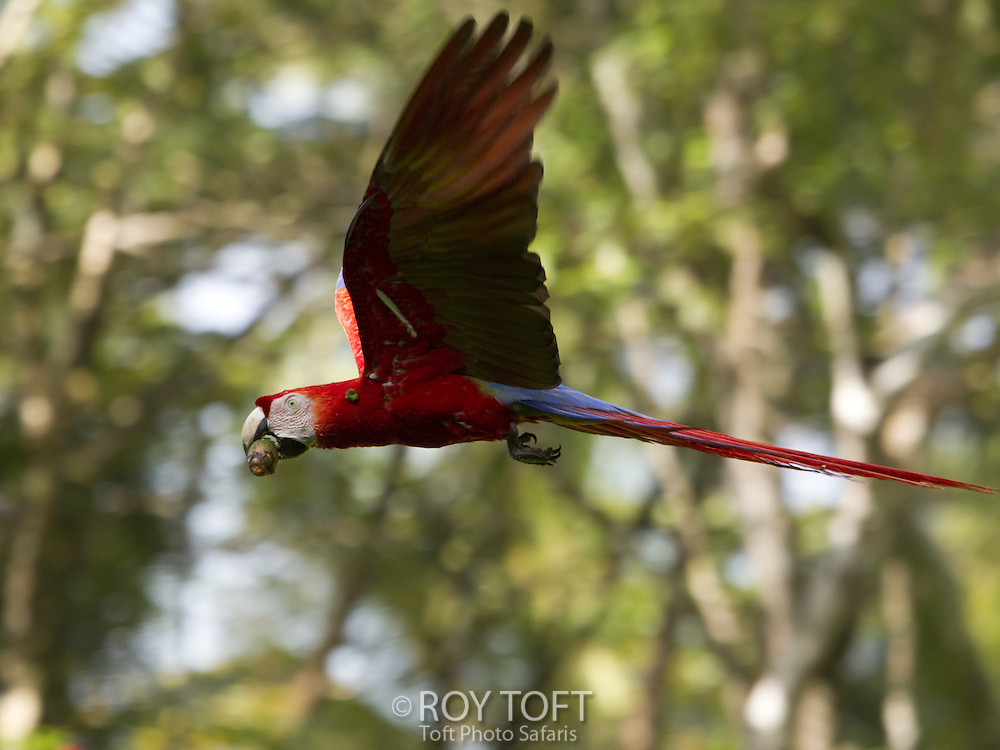 Scarlet Macaw (Ara macao) in flight carrying palm nut, Osa Peninsula, Costa Rica
