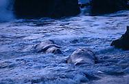USA, Vereinigte Staaten Von Amerika: Nördlicher See-Elefant (Mirounga angustirostris), zwei adulte See-Elefantenbullen treiben in Brandungszone während einer Kampfpause, Revierkampf, nach Sonnenuntergang, Strand direkt neben California State Route 1, San Simeon, Kalifornien | USA, United States Of America: Northern Elephant Seal (Mirounga angustirostris), two adult bull elephant seals floating in surf during a fight break, territorial behaviour, past sunset, beach directly next to Cabrillo Highway 1, San Simeon, California |
