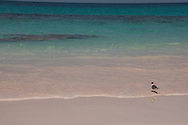 A seagull at the edge of the water;  Pink Sands Beach, Harbour Island, The Bahamas