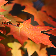 """Maple Light Too"" <br />