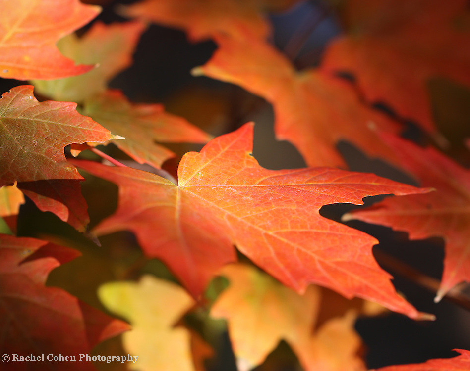 &quot;Maple Light Too&quot; <br /> <br /> Beautiful Maple leaves in autumn! Colors ranging from orange to red, and yellow. lovely light on the leaves with deep shadows in the background!