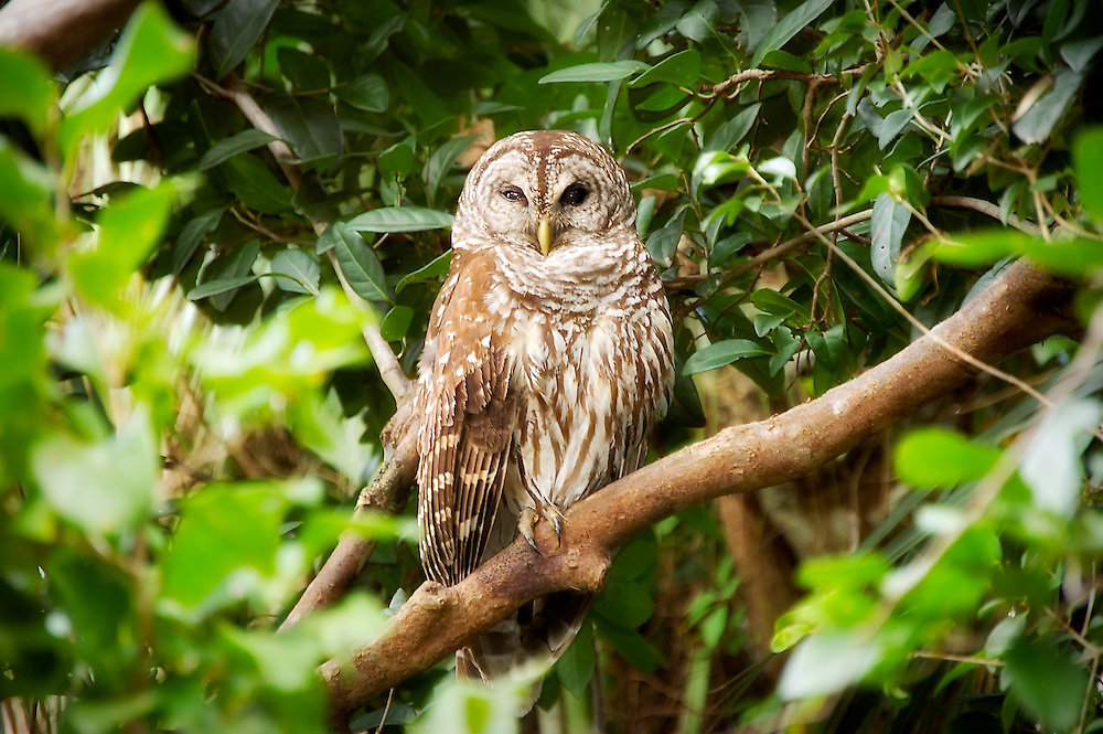 Barred owl in the oldest and largest mohogany hammock in the Florida Everglades. When still, it can be easily overlooked because of its camoflaged pattern - like this one almost was!