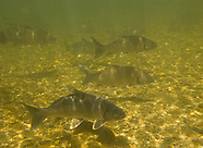 Quillback, Underwater
