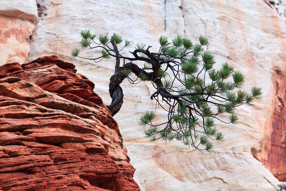 Zen Tree, Zion National Park, Utah.