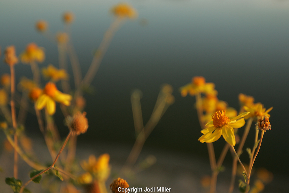 Wild yellow flowers on the edge of a lake