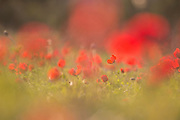 Selective focus on a field of red Anemone coronaria (Poppy Anemone). Photographed in Israel in Spring February
