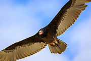 Turkey vulture soaring over the dunes at Hatteras Island National Seashore on the Outer Banks of NC.