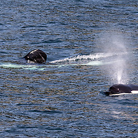 Pair of killer whales (orcas) swimming near the boat. Kenai Fjords National Park, Alaska