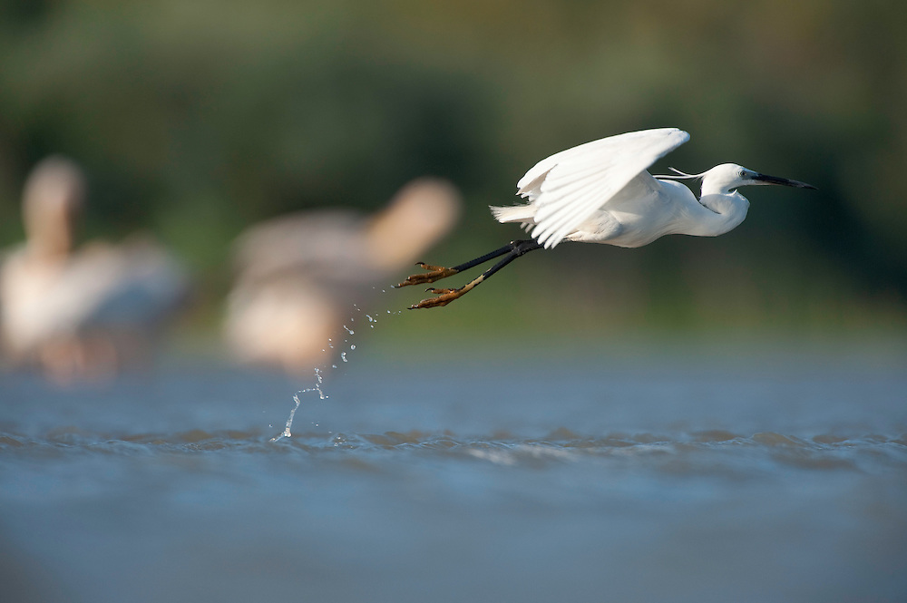 Little egret (Egretta garzetta) at the lake Belau in Moldova