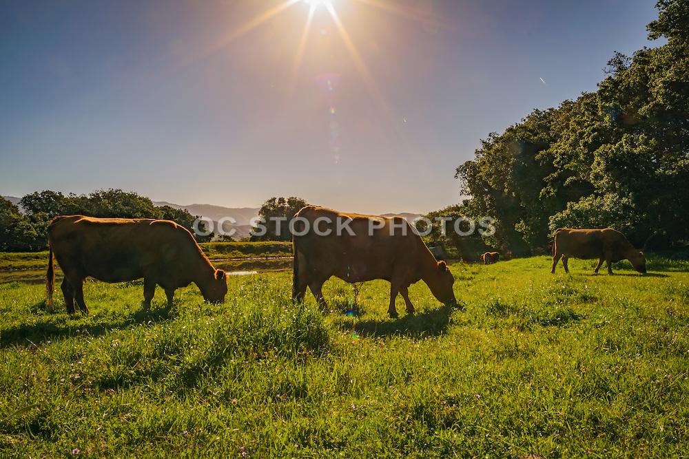 Grazing Cows in San Luis Obispo