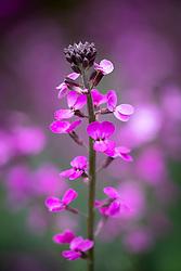Erysimum 'Bowles's Mauve' AGM syn. Erysimum linifolium glaucum, E. linifolium 'Bowles' Mauve'. Wallflower
