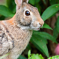Cottontail Rabbit eating vegetation (vertical)